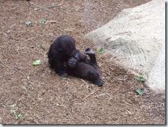2011.07.26-056 petit gorille