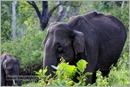 _P6A1741_wild_elephants_mudumalai_bandipur_sanctuary
