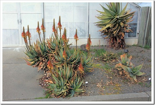130202_UCDavis_Aloe-microstigma_03
