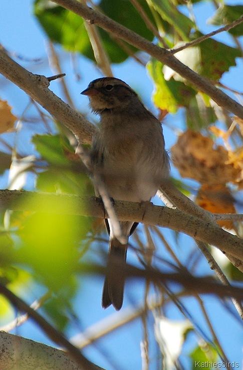 10. juv sparrow-kab