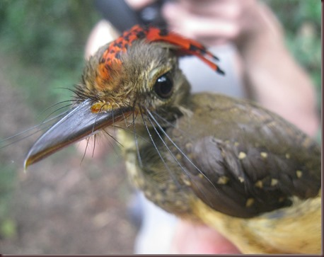 Amazing Animal Pictures Amazonian Royal Flycatcher (8)