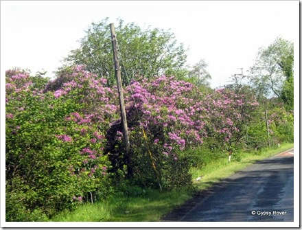 Seemingly wild  lilac Rhododendrons have lined the roads through the Lake District and Scotland