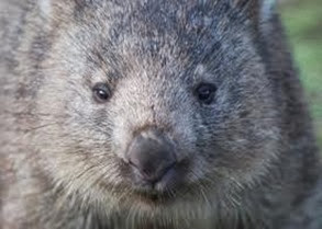 Amazing Pictures of Animals, Photo, Nature, Incredibel, Funny, Zoo, Common wombat, Vombatus ursinus, Marsupial, Mammals, Alex (8)