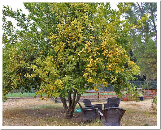 Citrus trees around town