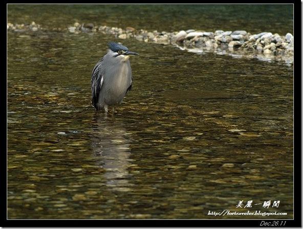 綠簑鷺(2011-12-25三棧)0112