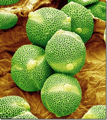 pollen grain of cucumber