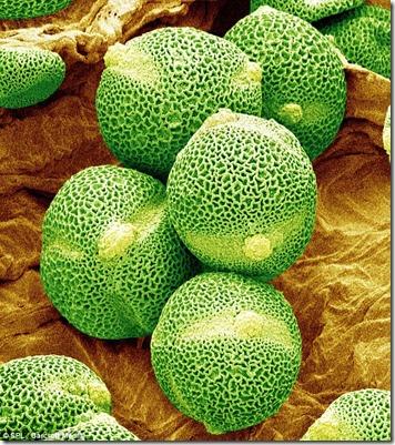pollen grain of cucumber