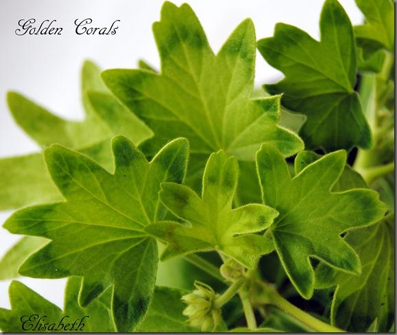 Pelargonium juni-11 014