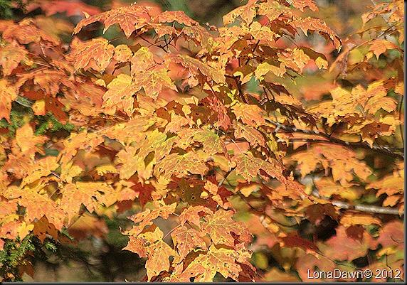 CF_Autumn_Maple