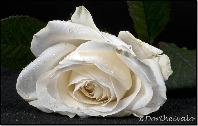 rosefralaura