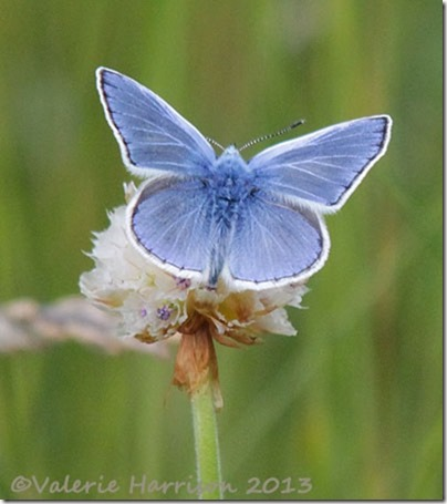 84-common-blue