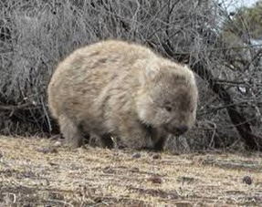 Amazing Pictures of Animals, Photo, Nature, Incredibel, Funny, Zoo, Common wombat, Vombatus ursinus, Marsupial, Mammals, Alex (16)