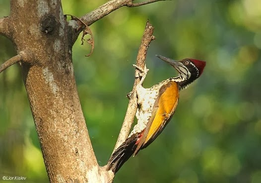 Amazing Pictures of Animals, Photo, Nature, Incredibel, Funny, Zoo, Greater Flameback, Chrysocolaptes guttacristatus, Bird,Alex (7)