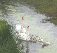 swans 5.2012 1