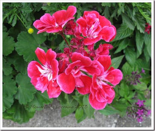 03-11-b-day-geranium