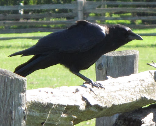 But, in reality, crows are very, very intelligent creatures.  In fact, they are considered to be the most adaptable and intelligent birds in the world.