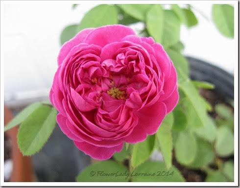 02-12-rose-de-rescht5