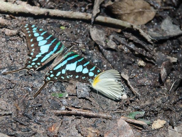 Graphium policenes (CRAMER, 1775) et Appias sylvia (FABRICIUS, 1775). Ebogo (Cameroun), 20 avril 2013. Photo : C. Basset