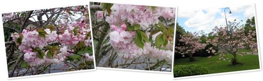 View Cherry Blossom trees - November 2011