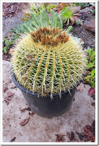 110106_Echinocactus-grusonii_01