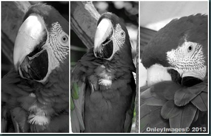 macaw collage2