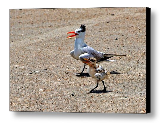 FAA-tern-and-chick