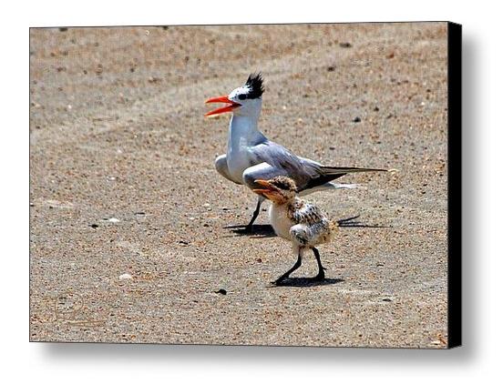 FAA-tern-and-chick