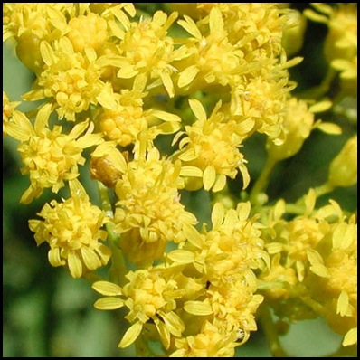 goldenrod2
