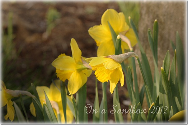 yellow daffs for the web