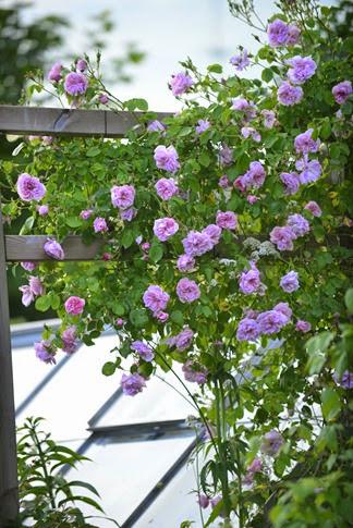 den yndigste rose 40 dk