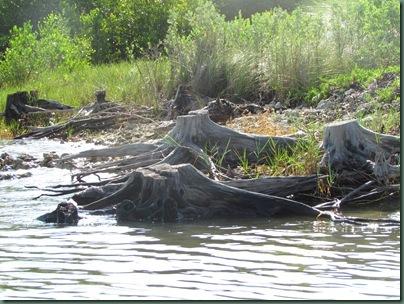 mangroves cut down