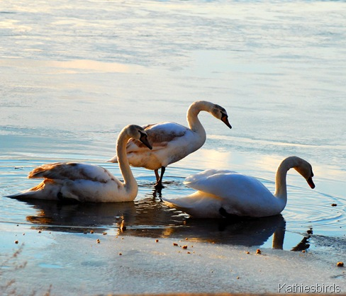 12. Mute swans-kab