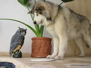 The owl and the malamute (2)
