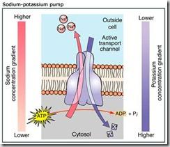 pompa-sodio-potassio