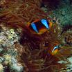 blazenek dwupregi - Clark\'s Anemonefish - Amphiprion clarkii .jpg