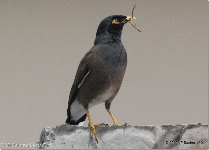 FOB Salerno Myna Bird