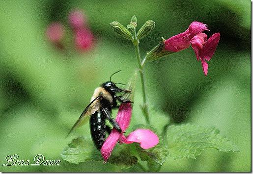 LG_Salvia_SanCarlosFestival_Bee