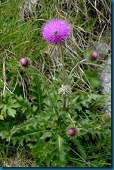 Musk_Thistle bloom