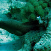 murena szara - Greyface Moray Eel - Gymnothorax thyrsoideus .jpg