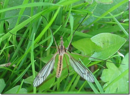 20120512 Lawn Tipula vernalis (2)