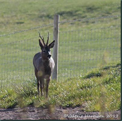 Roe-Deer-1