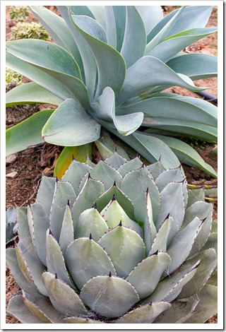 120929_SucculentGardens_Agave-attenuata-Boutin-Blue- -Agave-parryi_02