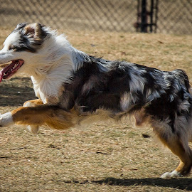 Aussie by Ron Meyers - Animals - Dogs Running ( dog park biscuit acres )