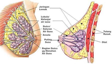 anatomi-payudara-wanita
