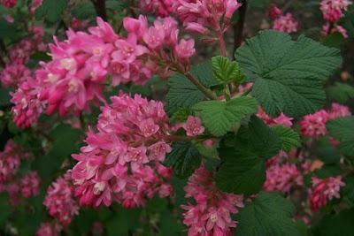 Groseillier à fleurs Faux-Cassis Ribes sanguineum