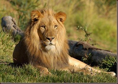 Amazing Animals Pictures Lion  (6)