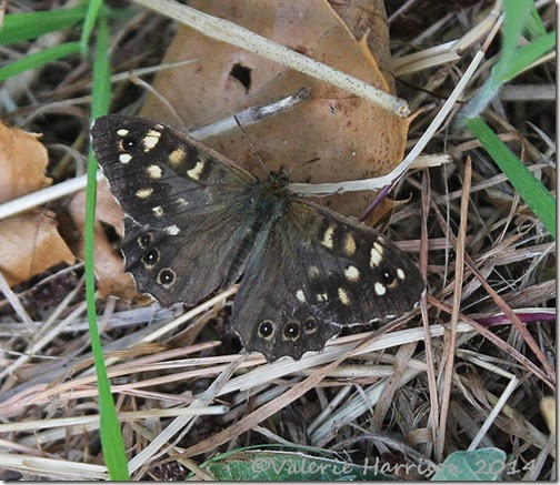 44-Speckled-Wood
