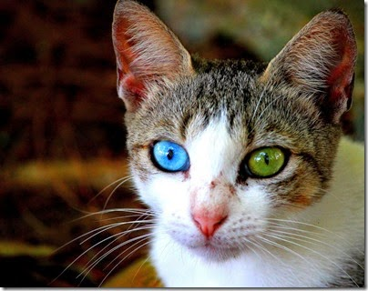 gatos y perros con un ojo diferente cosasdivertidas net (11)