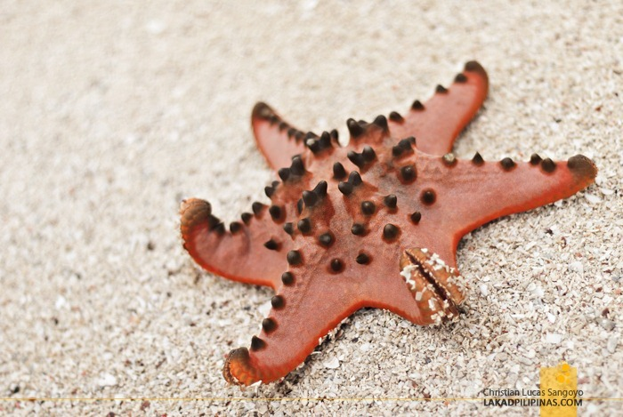Rare Six-Armed Starfish at Samal's Vanishing Island