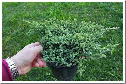 120223_fy_Juniperus-procumbens-Nana